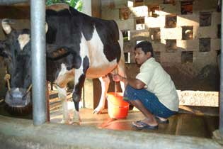 Milking the Cow